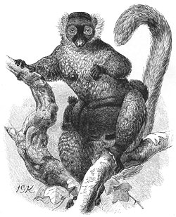 Black Lemur with Young, c. 1885 Illustration