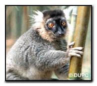 Sanford's Lemur